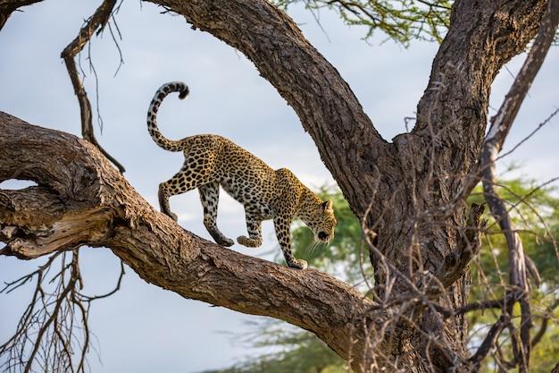 Um leopardo está andando para cima e para baixo na árvore em seus galhos