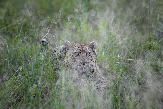 Um leopardo olhando para a câmera