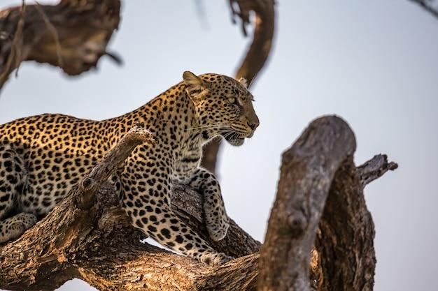 Um leopardo repousa sobre o brach de uma árvore