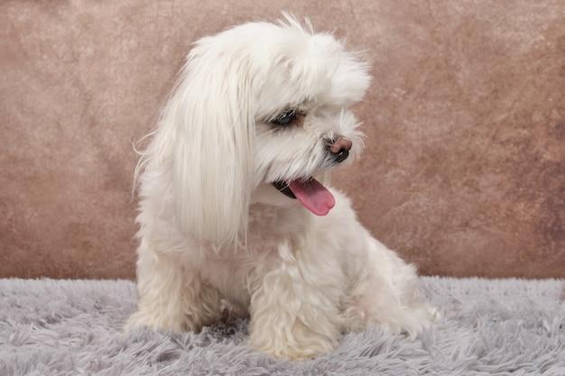 Um lindo cão maltês branco está sentado em um tapete cinza com a língua para fora