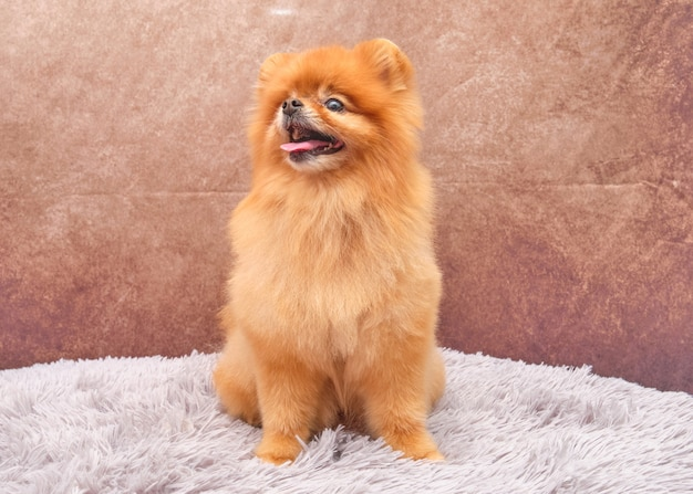 Um lindo cão vermelho da pomerânia na frente com uma expressão facial bonita em um belo vintage está sentado em um tapete.