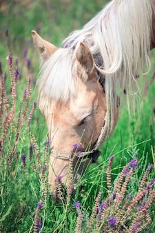 Um lindo cavalo de cabelos grisalhos pasta em um prado florido. close-up da cabeça de cavalo. cavalo comendo grama e sálvia