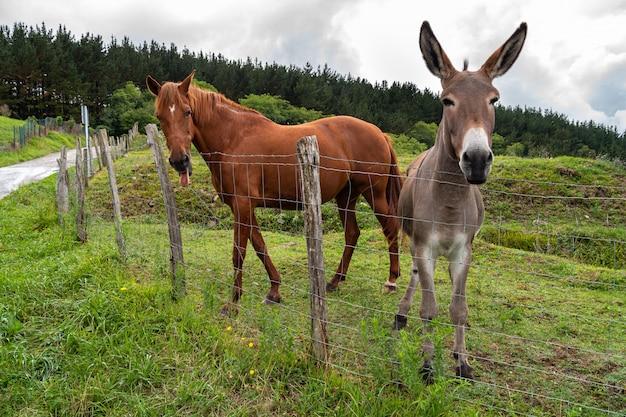 Um lindo cavalo enfiando a língua para fora e um burro bonitinho juntos no pasto de uma fazenda.