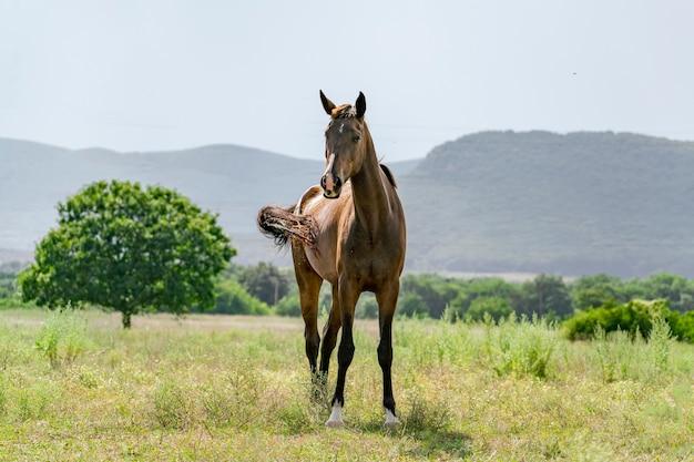 Um lindo cavalo no prado nas montanhas, a natureza da temporada de verão