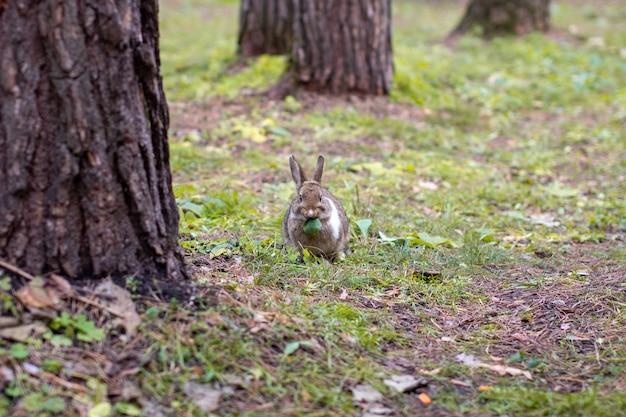 Um lindo coelho com orelhas compridas corre pela floresta e mastiga folhas e folhas de grama.
