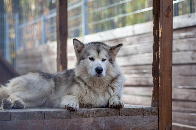 Um lindo e gentil pastor malamute do alasca senta-se em um recinto atrás das grades e olha com olhos inteligentes. aviário interno.