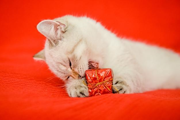 Um lindo gatinho branco, de raça britânica, deitado sobre um cobertor vermelho e segurando uma caixa de presente em suas patas