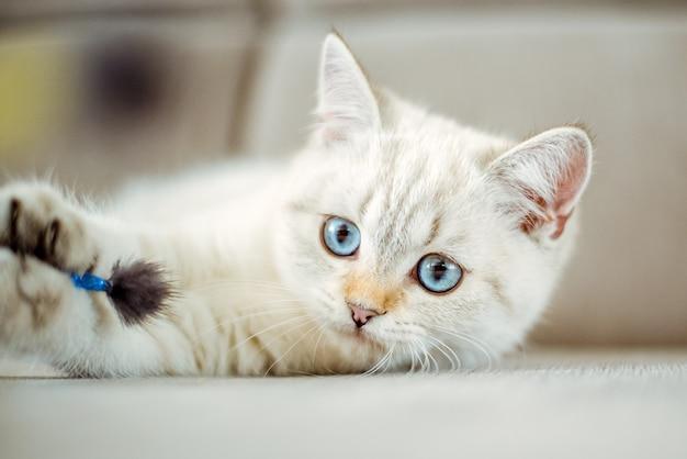 Um lindo gatinho britânico cinza claro com olhos azuis deitado em um sofá cinza