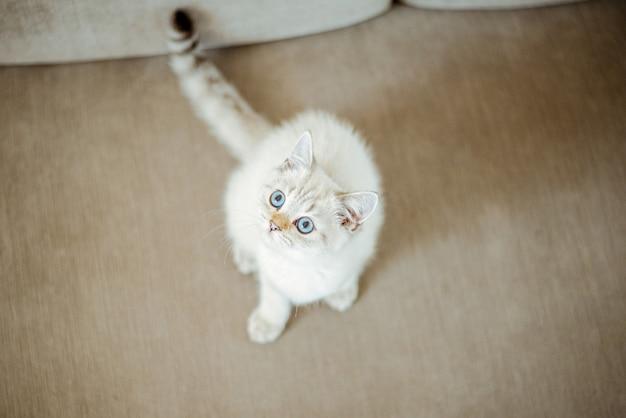 Um lindo gatinho britânico cinza claro com olhos azuis está sentado em um sofá cinza