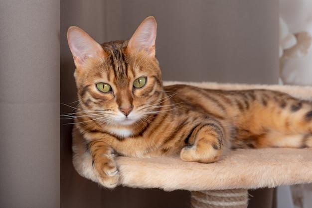 Um lindo gato de bengala está descansando no topo de uma árvore de gatos