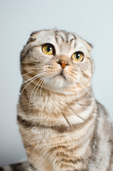 Um lindo gato escocês. protecção animal.