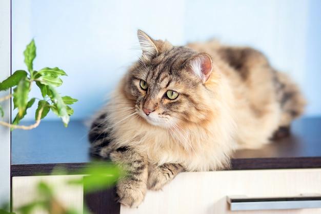 Um lindo gato fofo da raça siberiana encontra-se no apartamento sobre a mesa. gato tartaruga, cor tabby