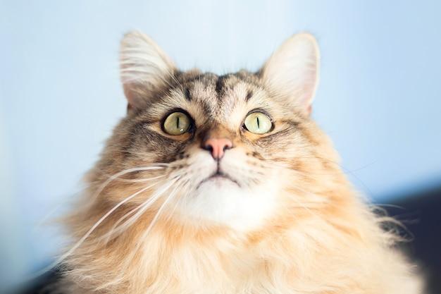 Um lindo gato fofo da raça siberiana olha para cima. gato tartaruga, cor tabby