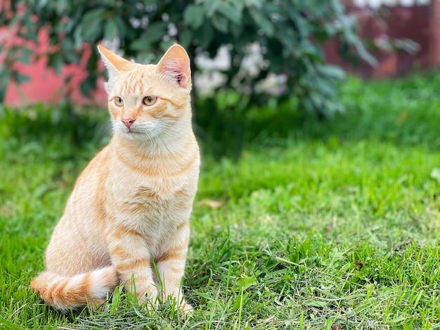 Um lindo gato vermelho sentado em uma grama verde