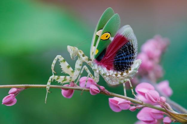Um lindo louva-a-deus. o creobroter gemmatus mantis