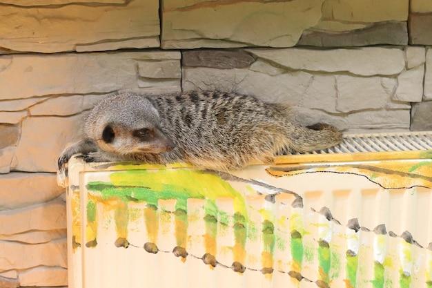 Um lindo meerkat está mentindo e se aquecendo com a bateria. alerta meerkat
