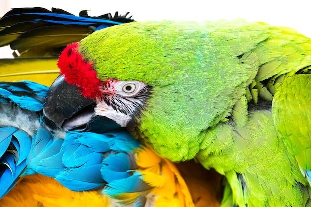 Um lindo papagaio arara de cor verde brilhante limpa as penas de seu parceiro