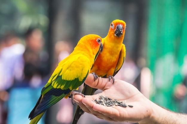 Um lindo papagaio colorido comendo comida na mão