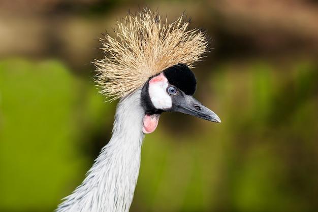 Um lindo pássaro coroado crane.