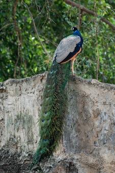 Um lindo pavão no zoológico