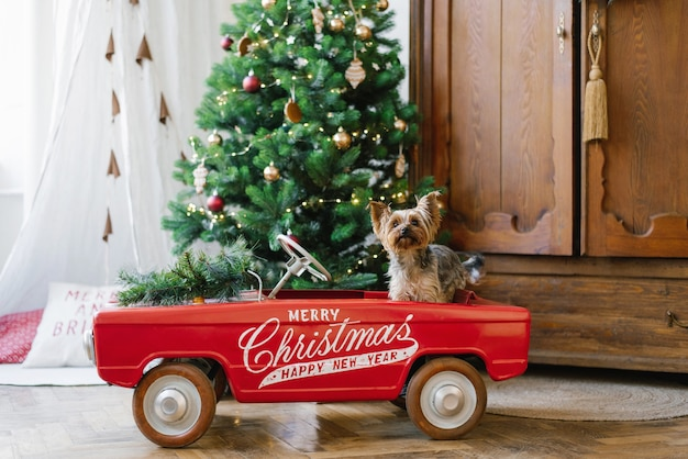 Um lindo yorkshire terrier sentado em um carrinho de brinquedo vermelho contra o fundo de uma árvore de natal