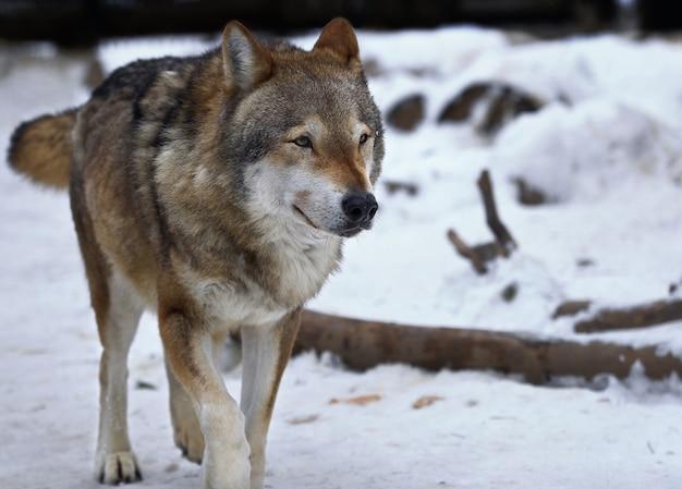 Um lobo anda na neve