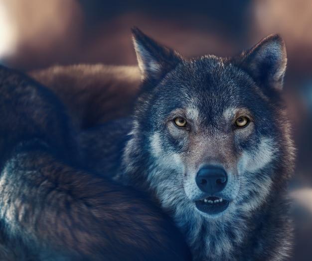 Um lobo com olhos amarelos