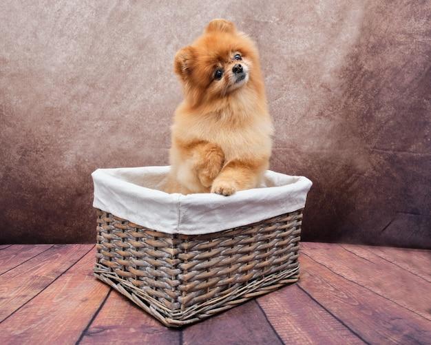Um lulu da pomerânia está sentado em uma cesta de vime.