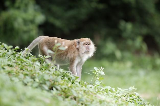 Um macaco bonito vive em uma floresta natural de tailândia.