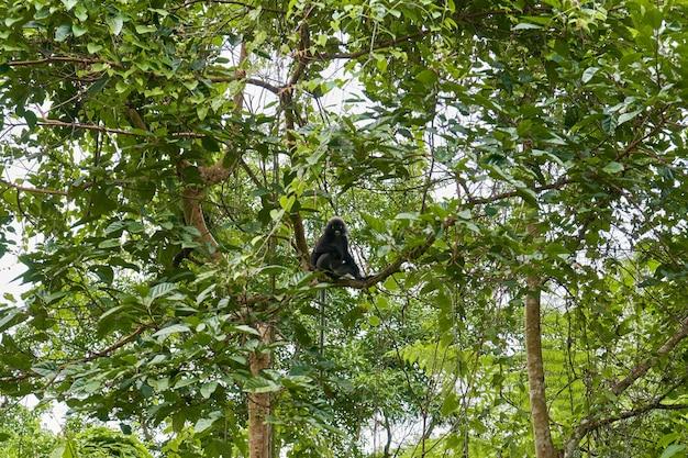 Um macaco selvagem da raça langur em um galho de árvore na selva densa. habitat natural.