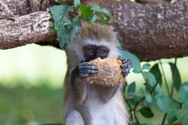 Um macaco vervet encontrou uma fruta e a come