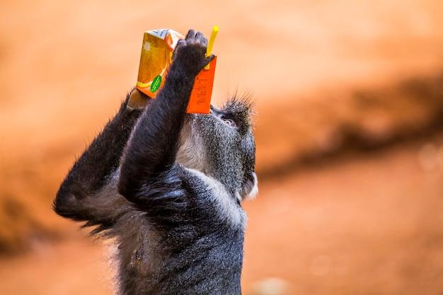 Um macaquinho bebendo suco de laranja. visitando o importante orfanato de nairobi para animais desprotegidos ou feridos. quênia