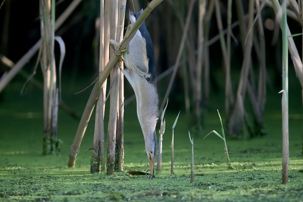 Um macho adulto e um jovem little bittern são fotografados em close enquanto preparam e caçam sapos no lago.