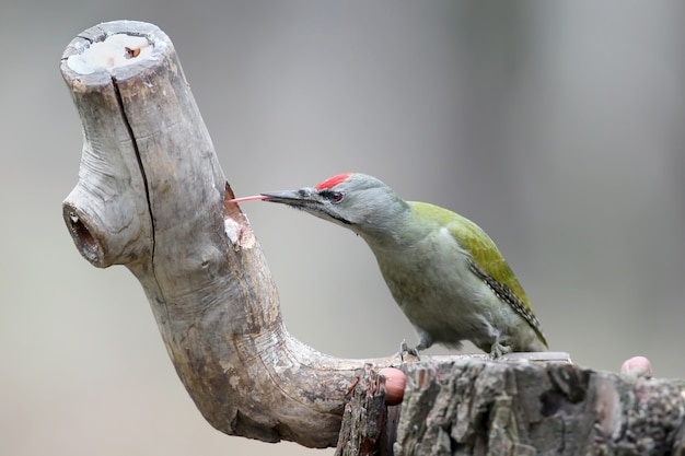 Um macho de pica-pau cinza senta-se em um alimentador da floresta e mostra uma longa língua vermelha. um pássaro