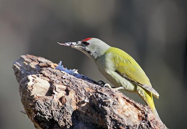 Um macho do pica-pau cinza senta-se no alimentador da floresta e mostra a língua