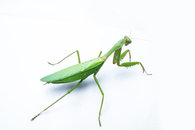 Um mantis feminino em branco