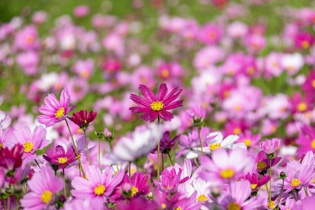 Um mar de flores composto de crisântemos persas de várias cores pela manhã