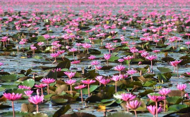 Um mar de lótus rosa desabrochando