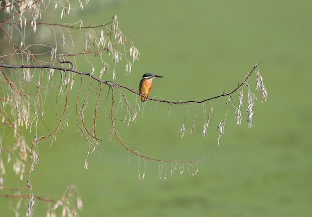 Um martim-pescador comum sentado em um galho de árvore