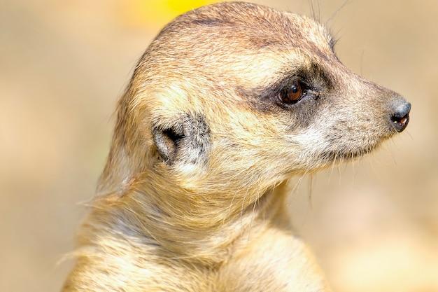 Um meerkat marrom