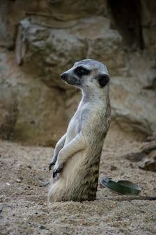 Um meerkat parado em guarda.