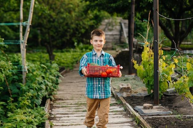 Um menino está com uma caixa inteira de vegetais maduros ao pôr do sol no jardim e sorri. agricultura, colheita. produto amigo do ambiente.