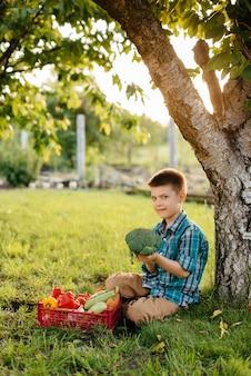 Um menino está sentado sob uma árvore no jardim com uma caixa inteira de vegetais maduros ao pôr do sol. agricultura, colheita. produto amigo do ambiente.