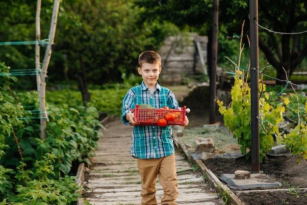 Um menino pequeno fica com uma caixa inteira de legumes maduros ao pôr do sol no jardim e sorri