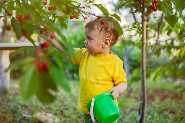 Um menino pequeno, uma criança, em uma camiseta amarela brilhante recolhe uma cereja