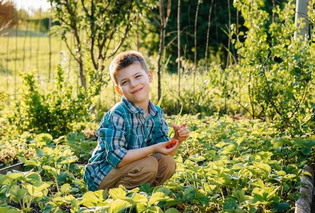 Um menino pré-escolar bonito e feliz coleta e come morangos maduros em um jardim em um dia de verão ao pôr do sol. infância feliz. colheita saudável e ecológica.