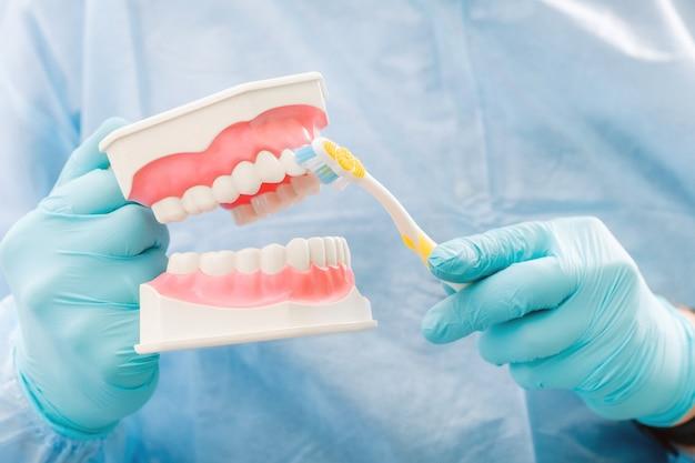 Um modelo de uma mandíbula humana com dentes e uma escova de dentes na mão do dentista.