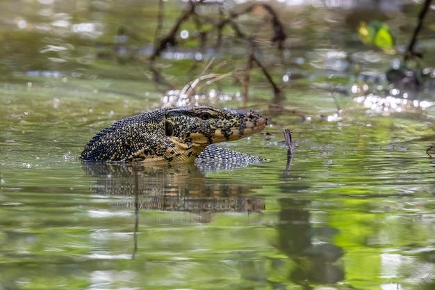 Um monitor de água asiático (varanus salvator) está nadando no rio. animais. répteis.