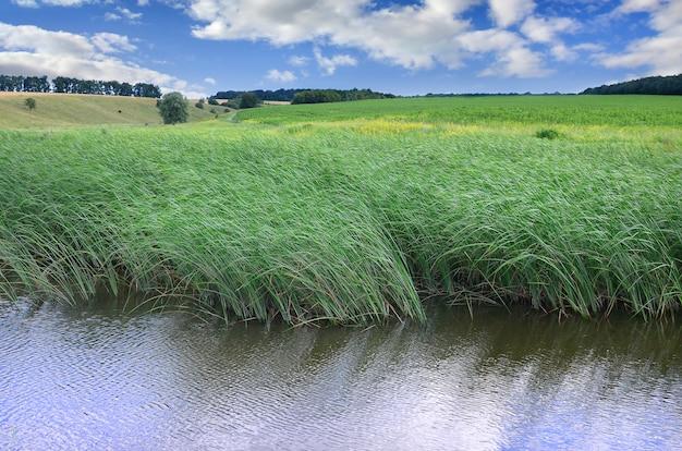Um monte de caules de juncos verdes crescem da água do rio sob o céu azul nublado.