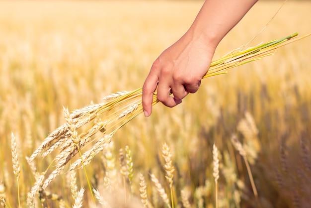 Um monte de espigas de trigo na mão de uma mulher. no contexto do campo de trigo dourado.